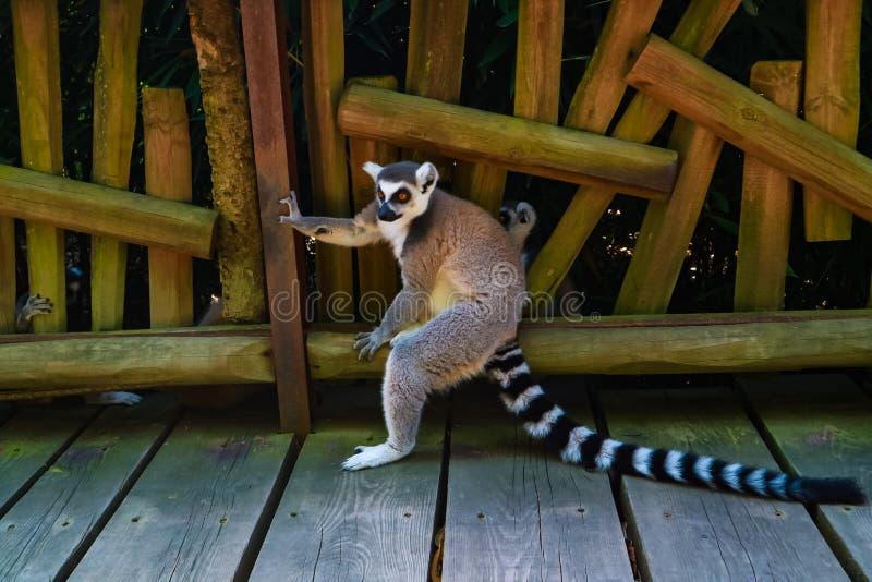 Madacascar lemure 免版税库存照片