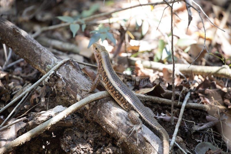Madagáscar cintou o lagarto, vidas na terra, reservas Tsingy do madagascariensis de Zonosaurus, Ankarana, Madagáscar fotos de stock royalty free