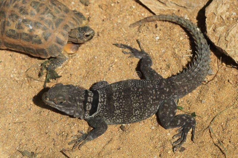 Madagáscar espinhoso-atou a iguana (cuvieri de Oplurus), igualmente conhecida como o lagarto colocado um colar Madagáscar fotografia de stock