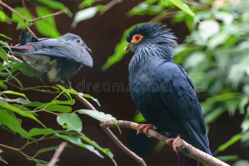 Madagascan blue pigeon with deep red tail, blue head iwith a large red patch of bare skin around the yellow eye stock photos