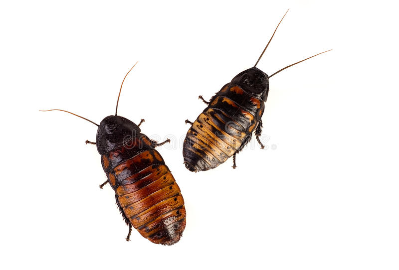 Madagascan cockroaches stock photo