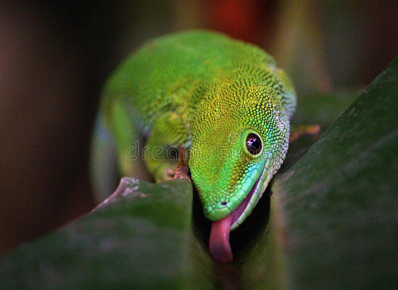 Madagascan Day Gecko (1) royalty free stock image