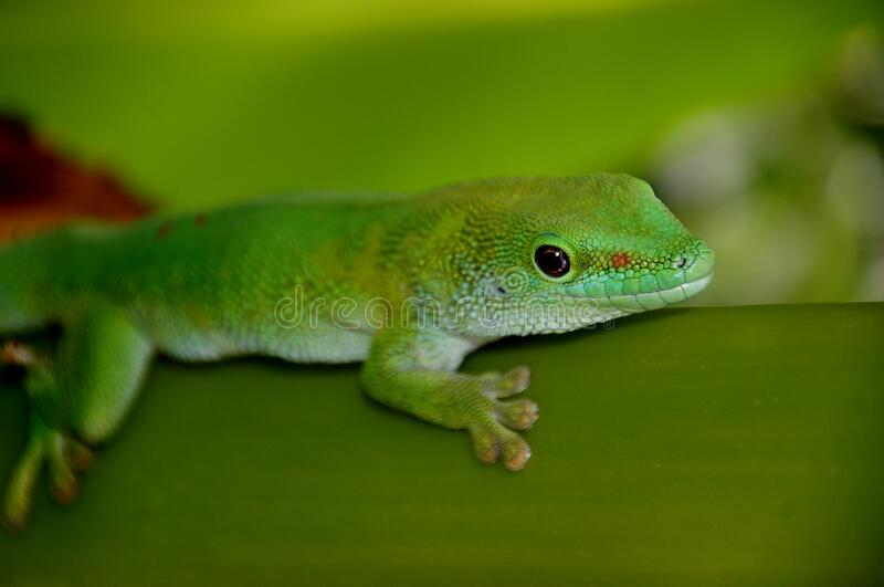 Madagascan Day Gecko (7) stock photos