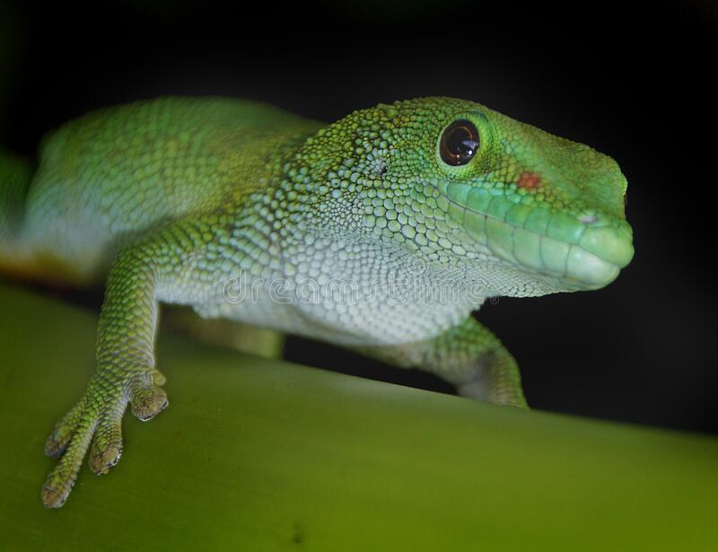 Madagascan Day Gecko royalty free stock photography