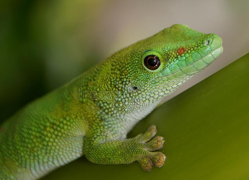 Madagascan Day Gecko (6) royalty free stock images
