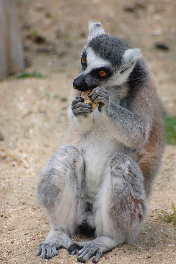 Madagascan ring tail Lemur. Sat eating stock images