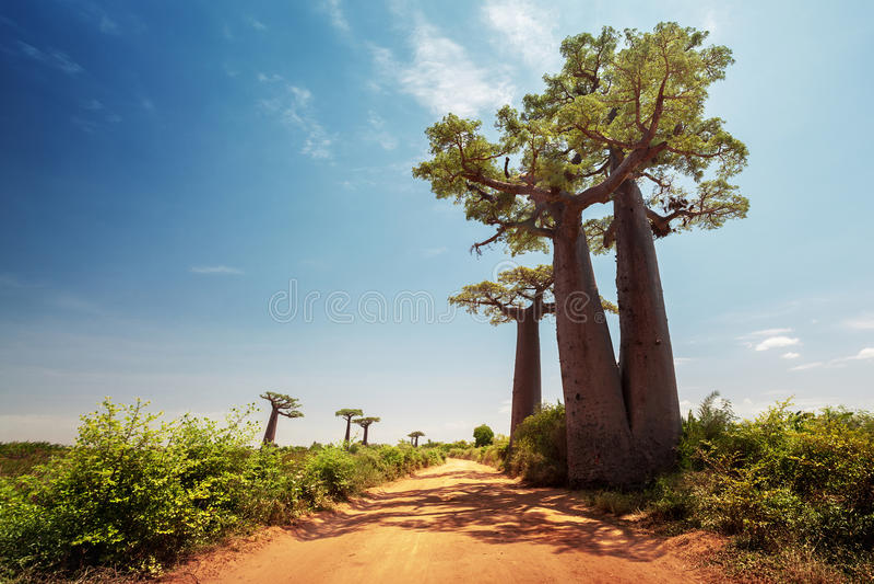Madagascar. Baobab trees stock photography