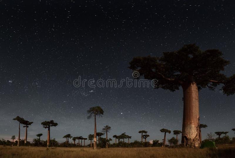 madagascar baobabsskog madagascar royaltyfria bilder