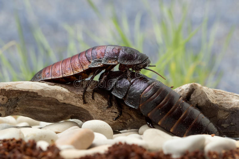 Madagascar cockroaches crawling on the log stock images