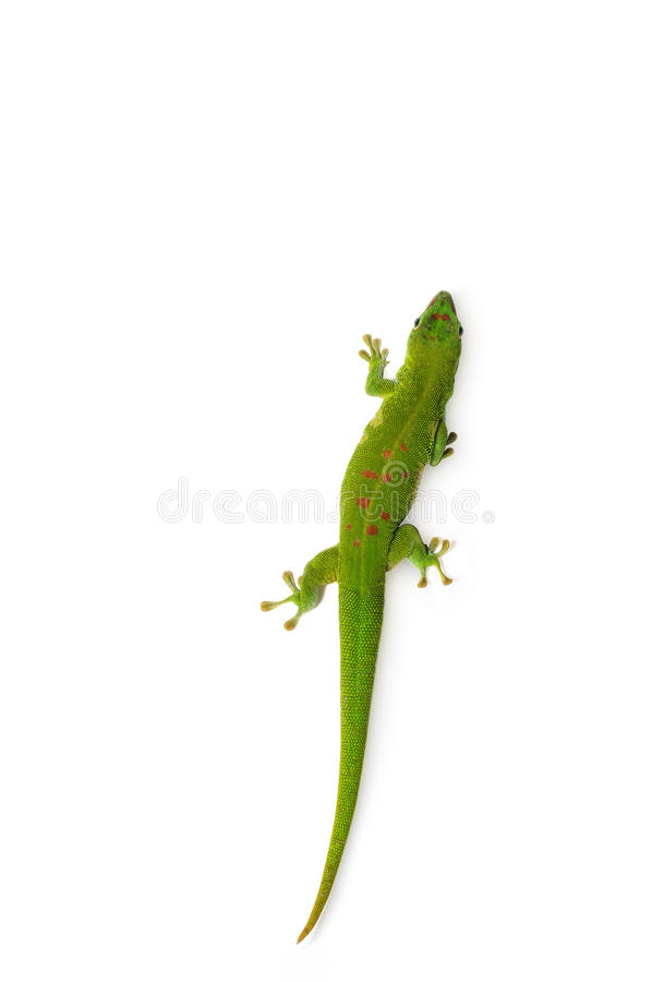 Madagascar Day Gecko. On white background stock photo