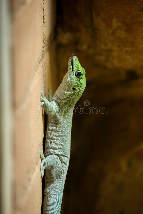 Madagascar day gecko (Phelsuma madagascariensis madagascariensis). On a brick wall stock photo