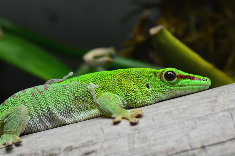 Madagascar Day gecko. A gecko poses for its portrait as it lazes about stock photography