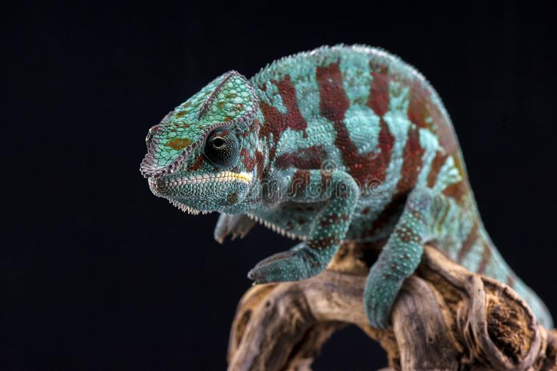 Madagascar endemic lizard chameleon in angry state stock image