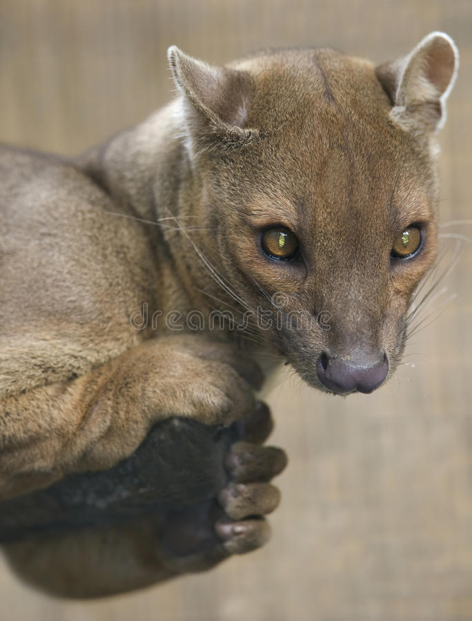 Free Madagascar Fossa Hunting Cat, Africa Leopard Lion Royalty Free Stock Images - 13844709