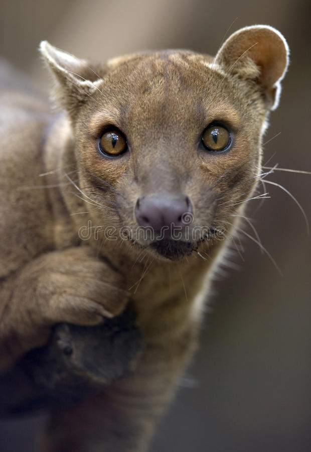 Free Madagascar Fossa Hunting Cat, Africa Leopard Lion Royalty Free Stock Image - 13844716