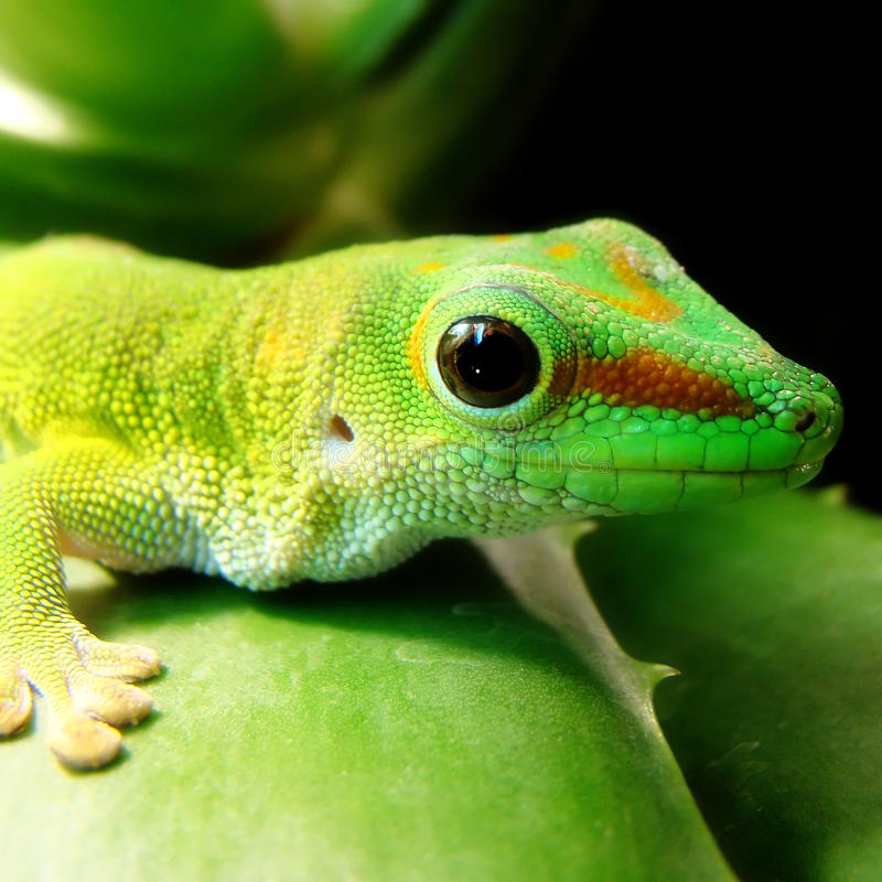 Madagascar Giant Day Gecko. A healthy adult Madagascar Giant Day Gecko sits on top of an aloe leaf royalty free stock photo