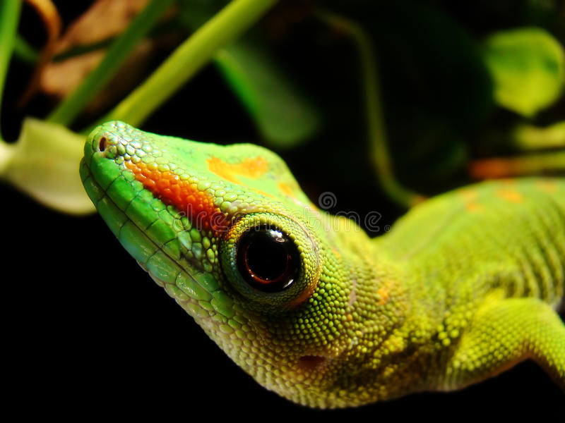 Madagascar Giant Day Gecko. A Madagascar Giant Day Gecko hangs out in his tank and waits for food stock photo