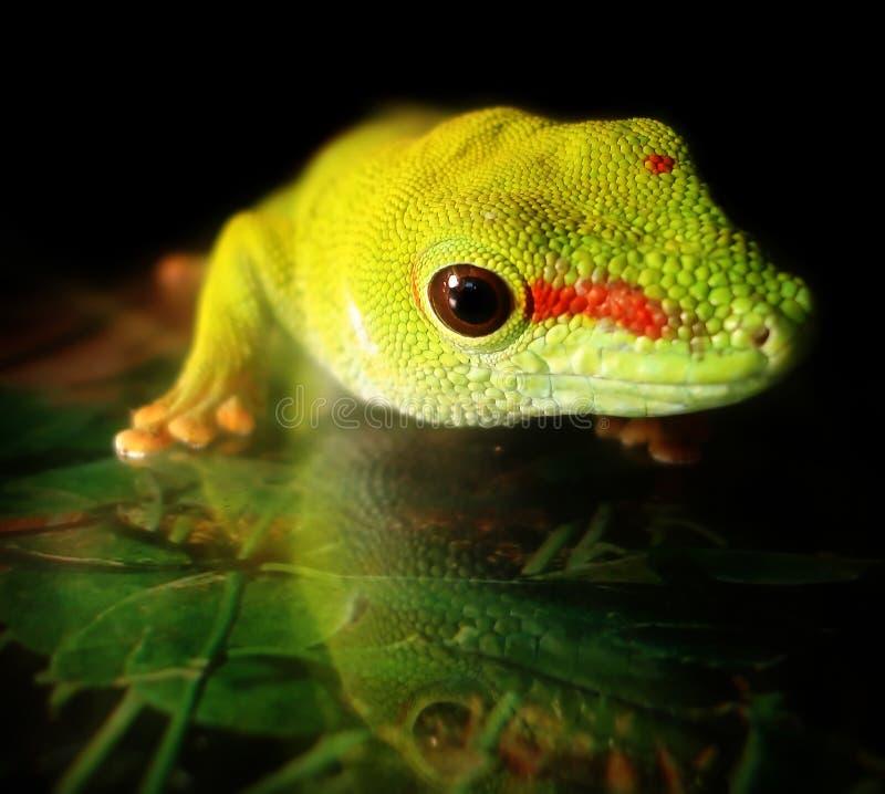 Madagascar Giant Day Gecko. A beautiful Madagascar Giant Day Gecko hangs out on the wall of his tank royalty free stock photo