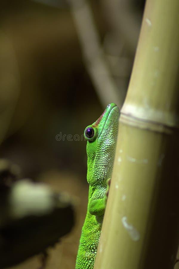 Free Madagascar Giant Day Gecko Royalty Free Stock Photos - 26660918