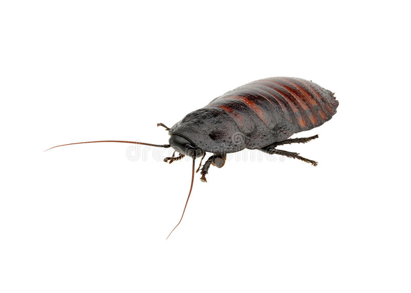 Madagascar hissing cockroach stock photo