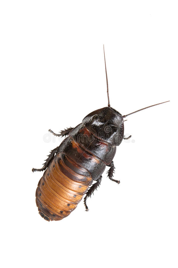 Madagascar hissing cockroach royalty free stock images