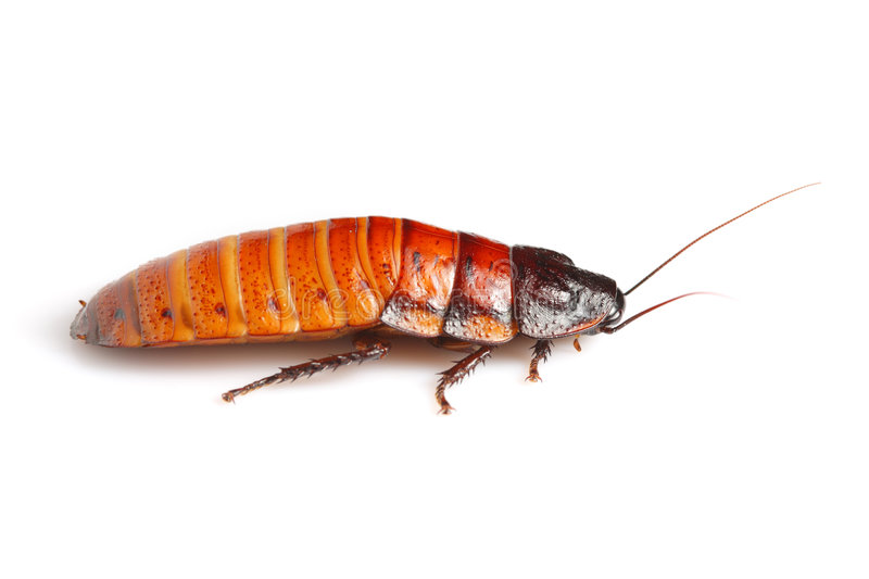 Madagascar hissing cockroach (Gromphadorhina porte royalty free stock photography
