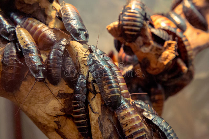 Madagascar hissing cockroach royalty free stock image
