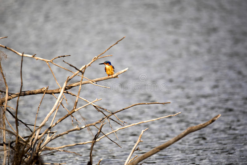 Madagascar Kingfisher, Corythornis vintsioides, on a branch above water, Lake reservation in Ankarana, Madagascar. One Madagascar Kingfisher, Corythornis stock photo