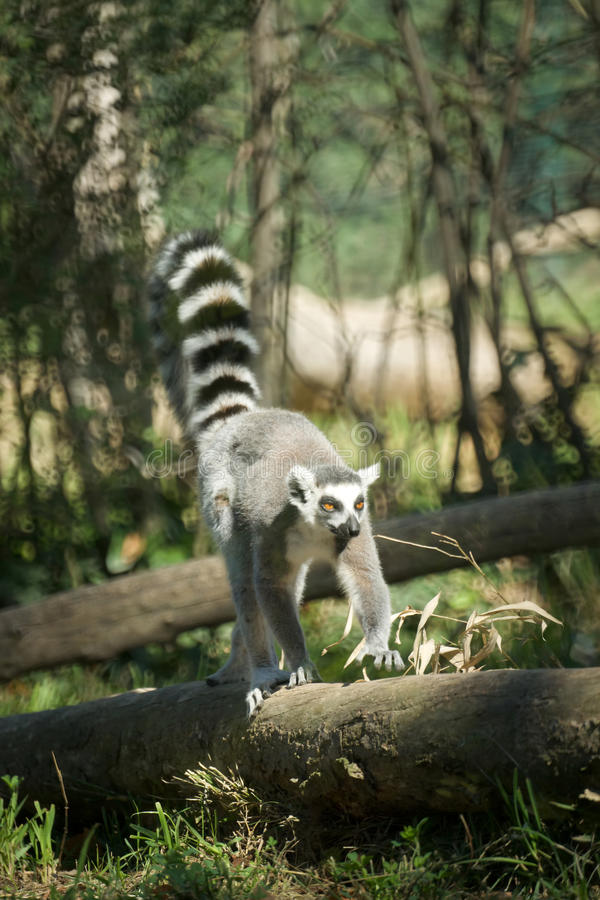Download Madagascar lemur stock image. Image of forest, wild, lemur - 11608271