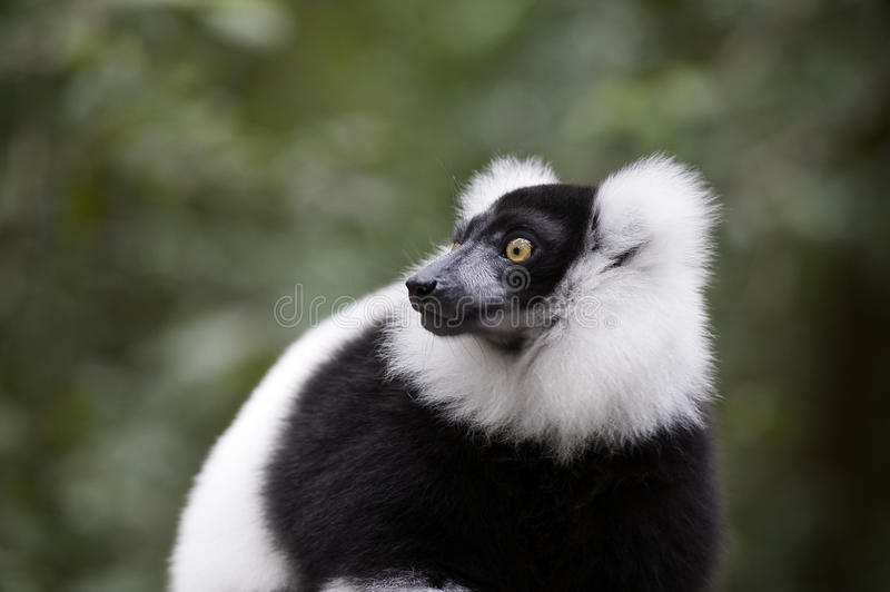 Madagascar Lemur Stock Images