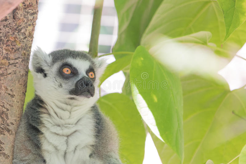 Madagascar lemur, bright orange eyes, intense alert stare, green foliage jungle behind seated animal. Madagascar ring tailed lemur, bright orange eyes, intense royalty free stock images
