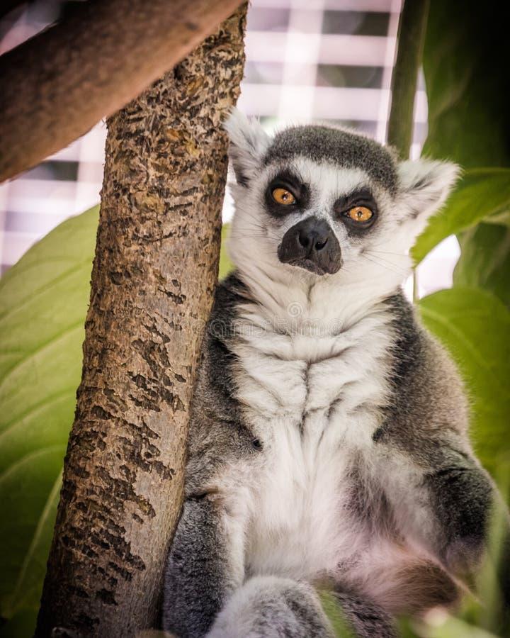 Madagascar lemur, bright orange eyes, intense serious stare, green foliage jungle behind seated animal. Madagascar ring-tailed lemur with orange sad eyes staring stock photo