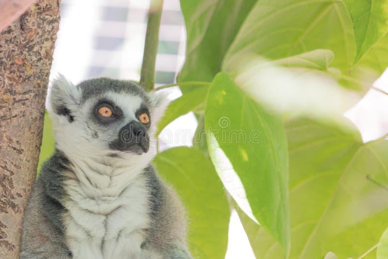 Madagascar lemur, jaskrawa pomarańcze ono przygląda się, intensywny raźny gapienie, zielona ulistnienie dżungla za posadzonym zwi obrazy royalty free