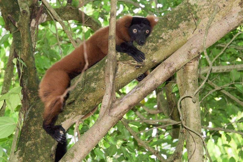 Madagascar lemura małpy portret na drzewie zdjęcie stock
