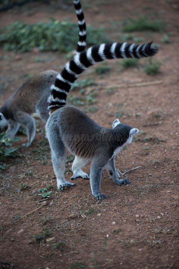 Madagascar maki fotografering för bildbyråer