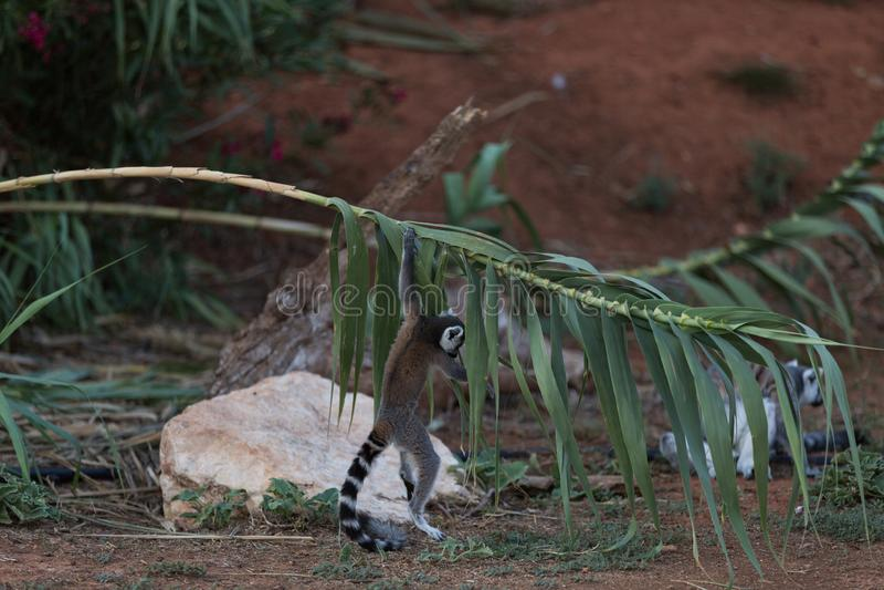 Madagascar maki som griper en filial royaltyfri bild
