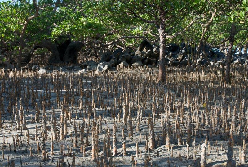 Madagascar mangrove