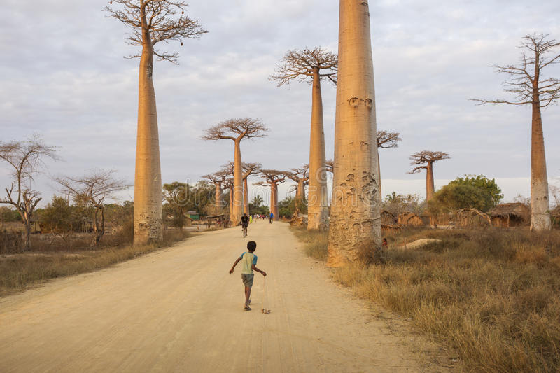 MADAGASCAR, MORONDAVA - OCTOBER 4, 2016: Unknown children playing with joy through baobab alley. Madagascar, Morondava. October 4 royalty free stock photography