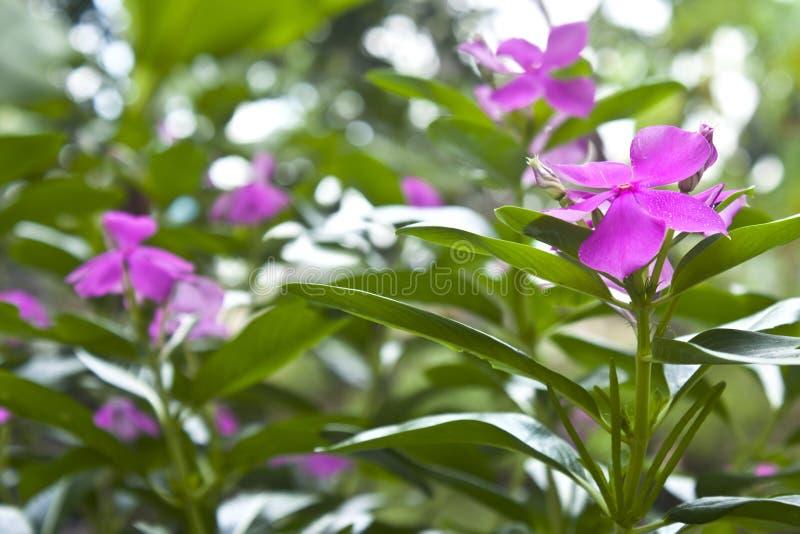 Download Madagascar periwinkle stock image. Image of bokeh, garden - 26619107