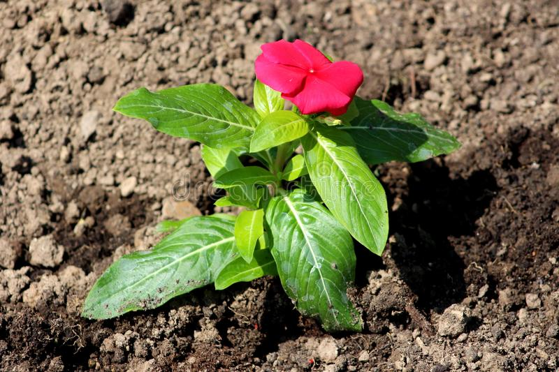 Madagascar periwinkle or Catharanthus roseus bright red flower in garden royalty free stock photography
