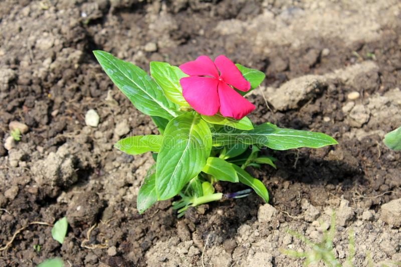 Madagascar periwinkle or Catharanthus roseus small purple flower in garden royalty free stock photography