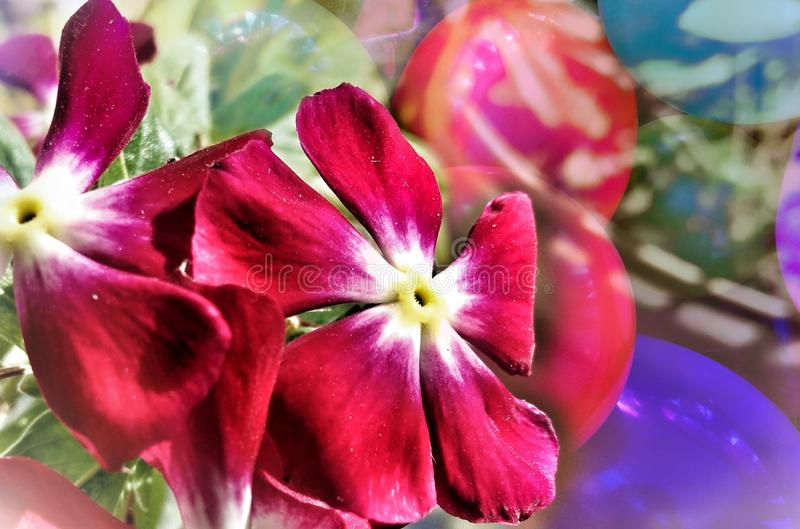 Madagascar periwinkle red flower floral abstract art design decorative with balloons background, space for text copy stock photos