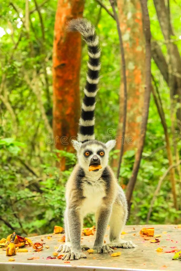 Ringtail Lemur of Madagascar vertical royalty free stock photo