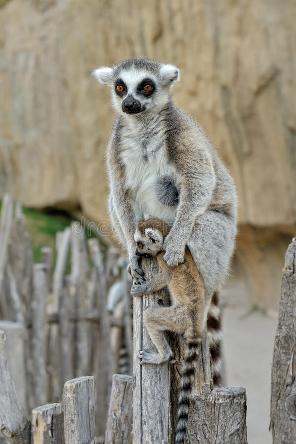 Download Madagascar's Ring-tailed Lemur  With The Cub Stock Image - Image: 25497787