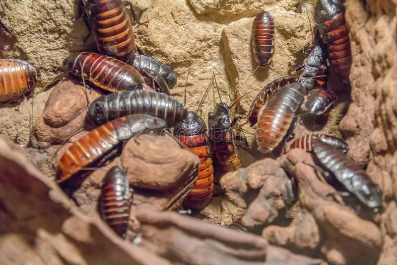 Madagascar syczący karakany obraz stock