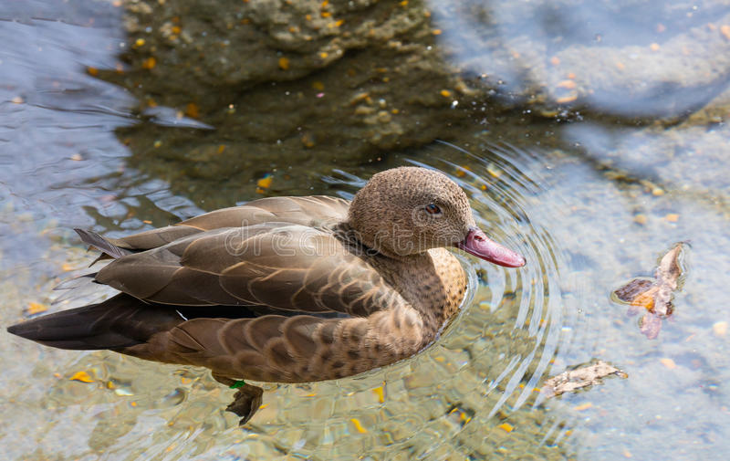 Madagascar Teal. (Anas bernieri) swimming in a pond stock images
