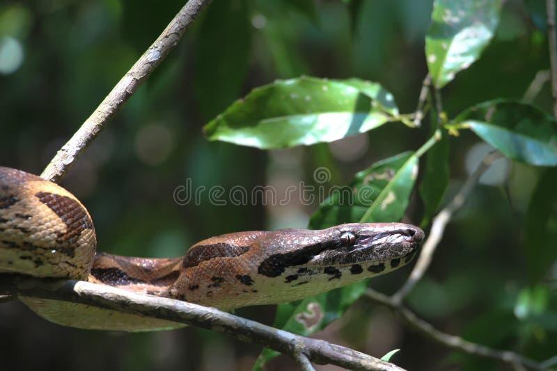 Madagascar trädboa fotografering för bildbyråer