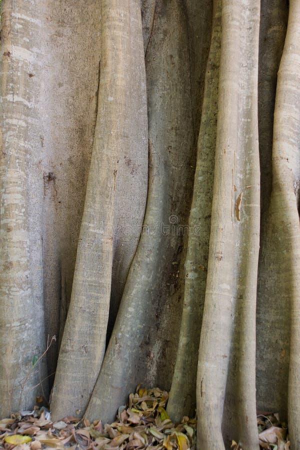 Download Madagascar tree trunk stock photo. Image of wood, tsiribihina - 7784968