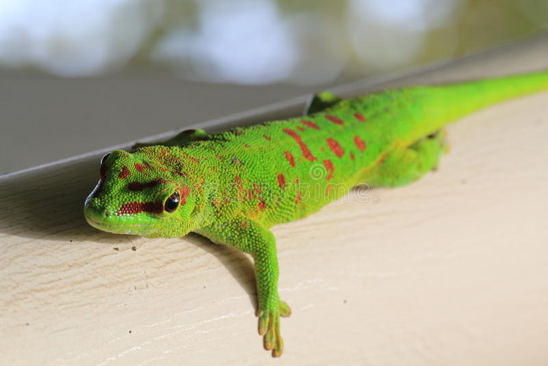 Madagascar zieleni gekon 02 obraz stock