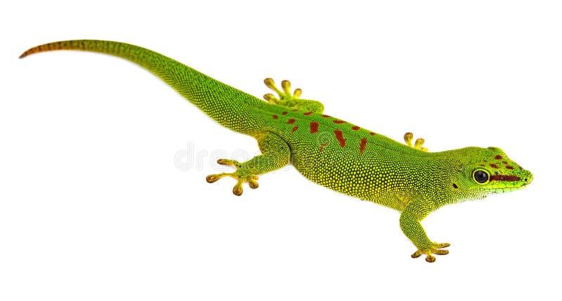 Madagascariensis de Phelsuma - gecko photographie stock libre de droits